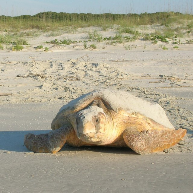 Photo of loggerhead sea turtle crawling away from sand dunes