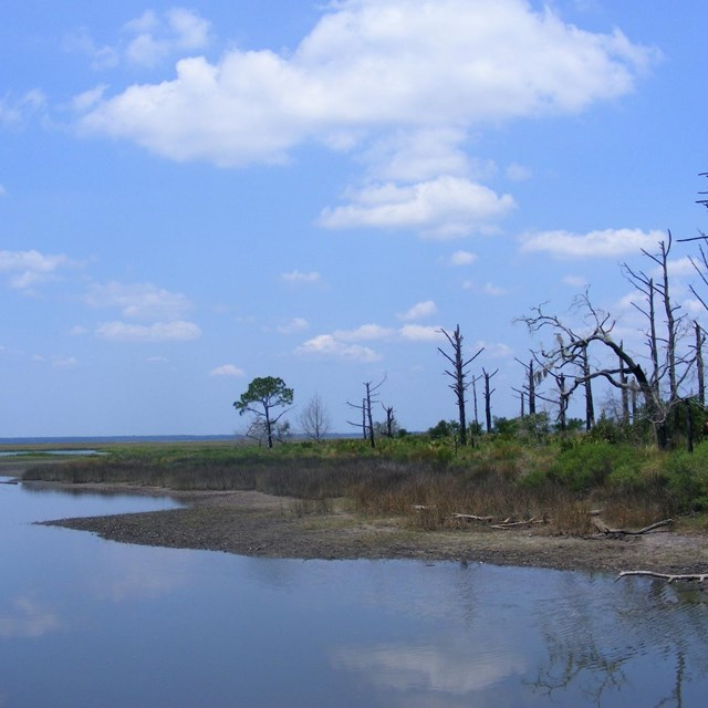 Tidal marsh edge next to standing tree snags under blue skies