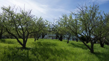 A view through two rows of fruit trees in a sunny orchard toward a white house.
