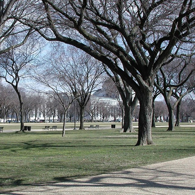 Trees grow on a grassy area of the National Mall, beside a walkway and benches.
