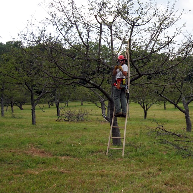 Two National Park Service staff members on ladders prune fruit trees in a historic orchard.