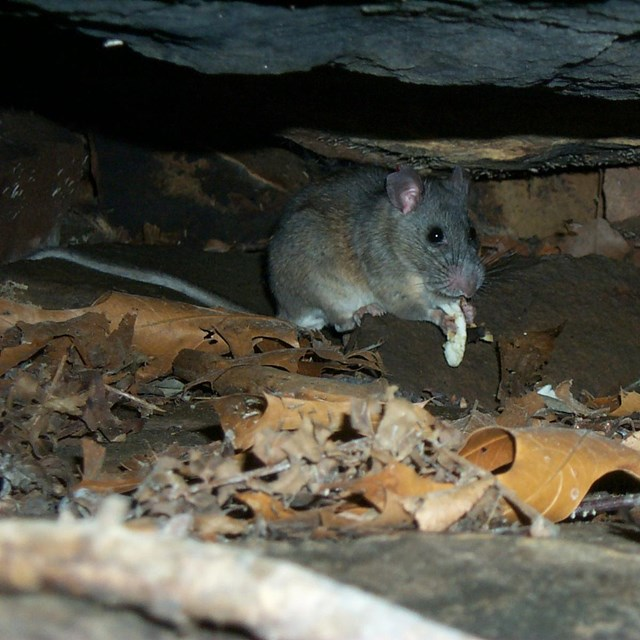 Allegheny woodrat (Neotoma magister) eating mushrooms. Photo by Steve Thomas.