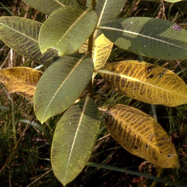 Ozone injury on common milkweed. Image from http://nrs.fs.fed.us/fia/topics/ozone/species/pdf