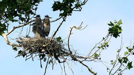 Three young great blue herons perch overhead in their nest of sticks.