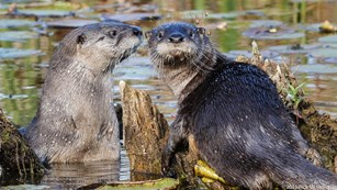 A pair of river otters swimming at Beaver Marsh.