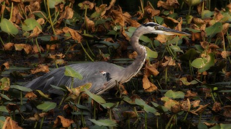 A great blue heron wades through lilies in the Beaver Marsh