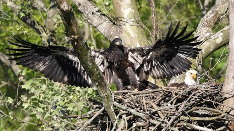 The dark-feathered eaglet is flapping its wings from its nest.