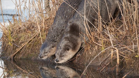 Two river otters look down into the water, their reflections seen beneath them