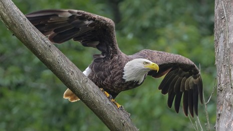 This adult eagle is preparing itself to fly off of the branch it has perched on. T
