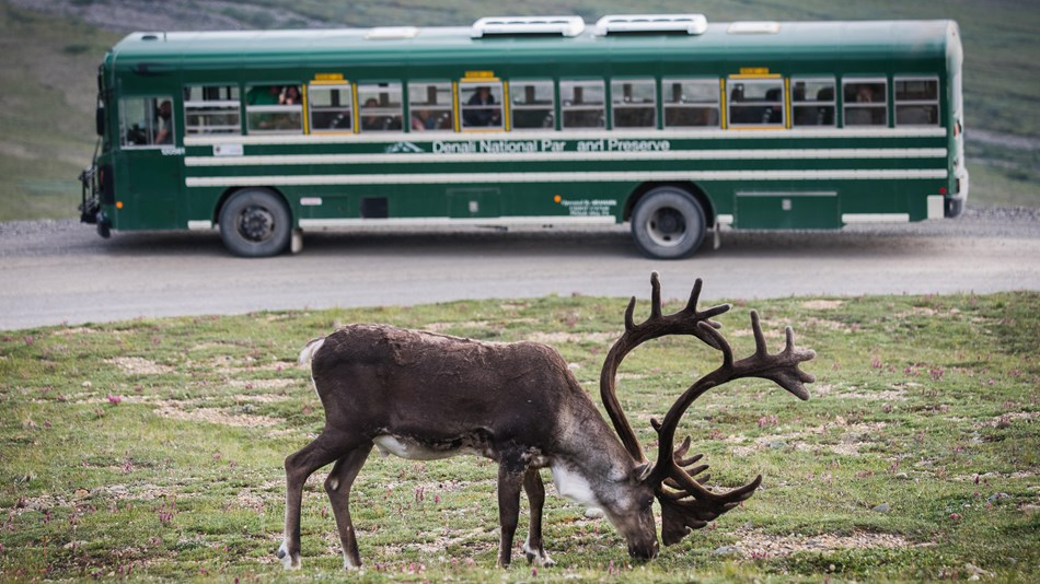 caribou standing on a dirt road, a green bus in the near distance