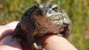 a wood frog sits on a person's fingers
