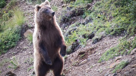 a brown bear standing up on its hind legs