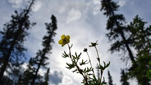 spruce trees surround a bright yellow flower