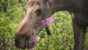 a moose grazes on pink flowers