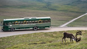 a bus of visitors watches on as a caribou grazes