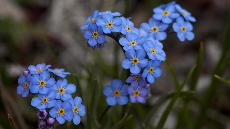 Close up of tiny blue forget-me-nots