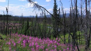 pink fireweed grows amidst burnt trees
