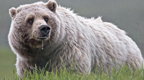 a grizzly bear drools while standing in the grass
