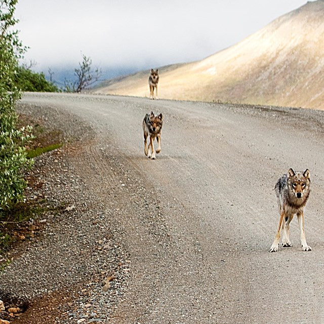 wolves running on a dirt road