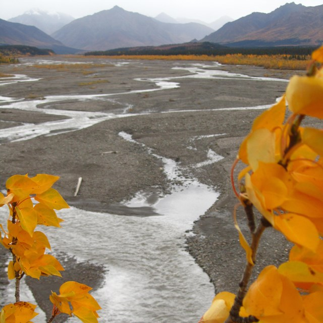 yellow leaves framing a view of a braided river flowing from rain-shrouded mountains