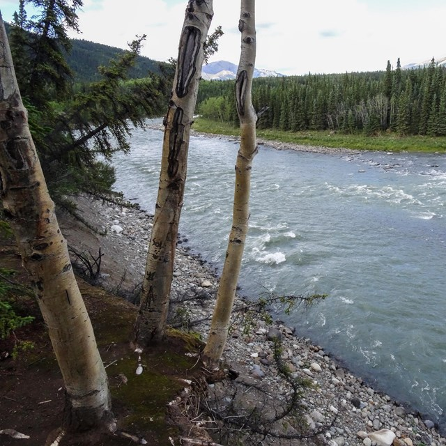 birch and spruce trees along a cloudy river