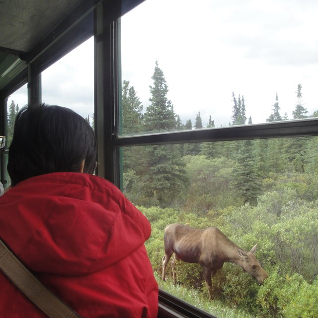 man looking out a bus window at a moose