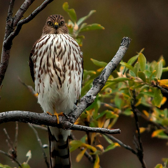 A hawk perches on a tree branch