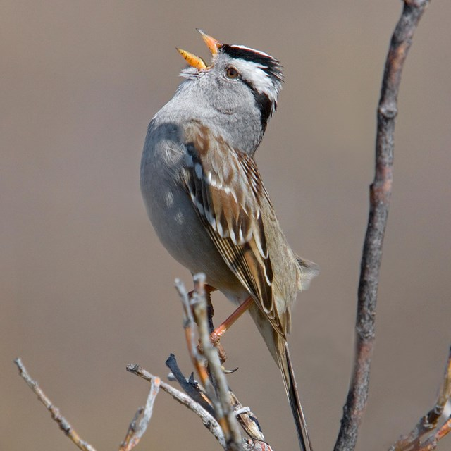 a white crowned sparrow perched in a bush, singing