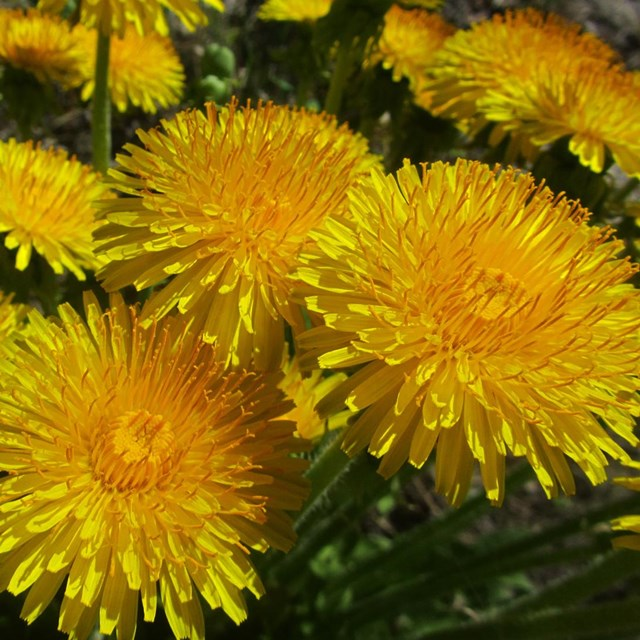 a group of bright yellow dandelions