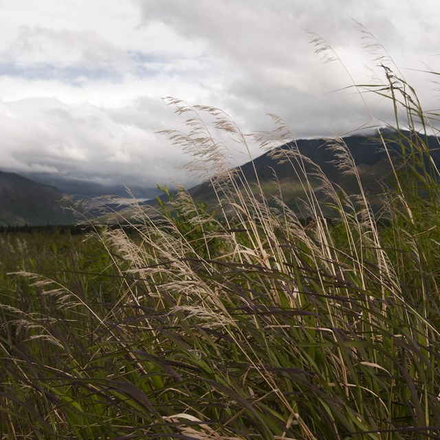 grasses wave in the wind on a cloudy day