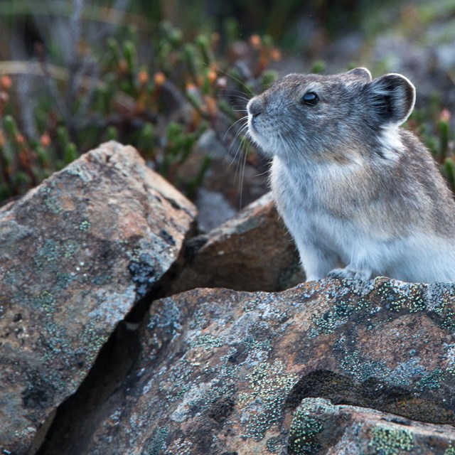 a pika perched on rocks