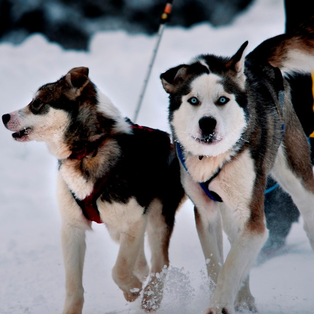 two dogs attached to a person skiing