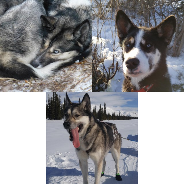 montage of three alaskan huskies