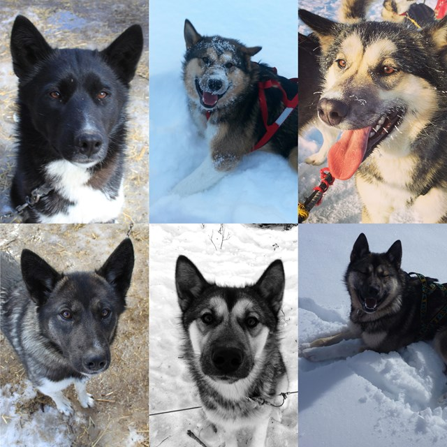 montage of six alaskan huskies