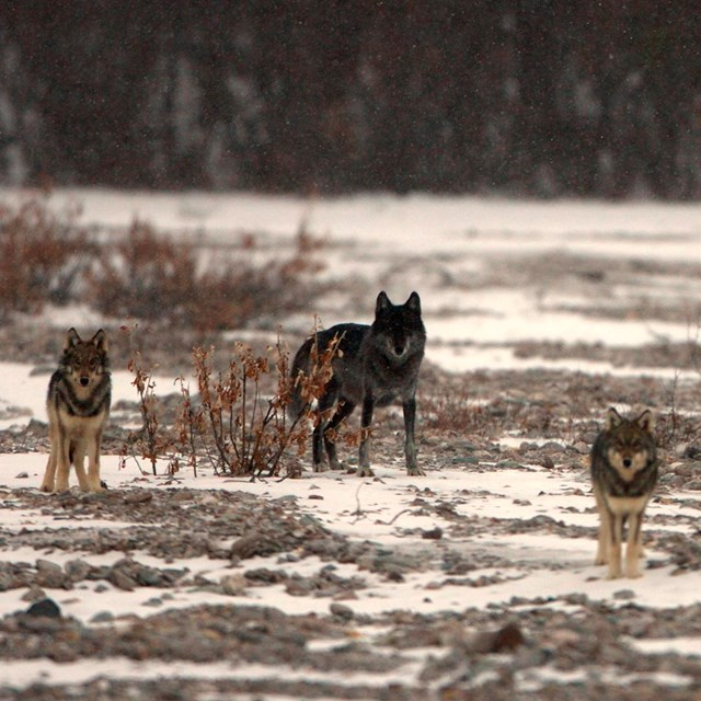 four wolves stand on a snowy river bar