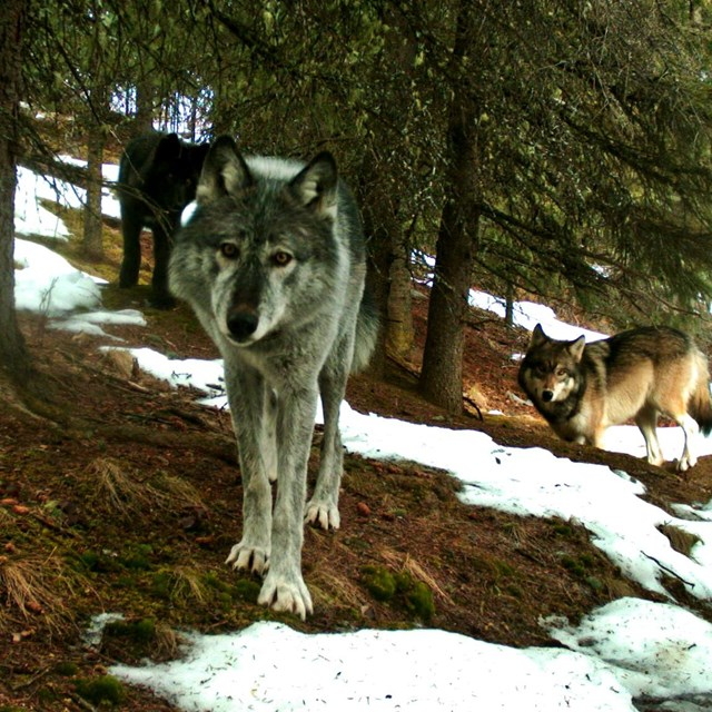 three wolves looking at the camera