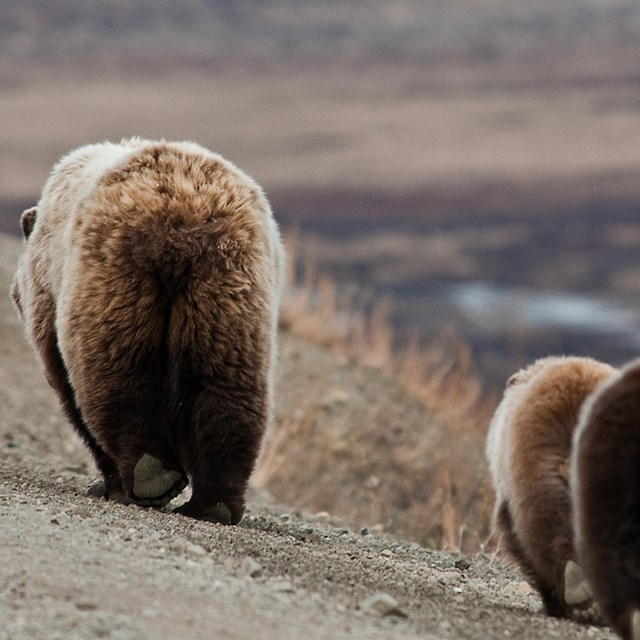 rear view of a grizzly and two cubs walking on a road