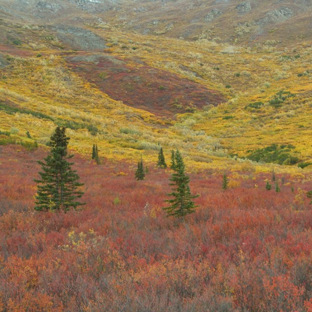 landscape of reddish bushes and green spruce trees