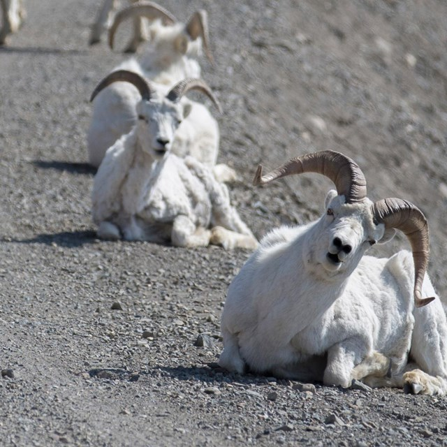three white colored sheep sitting on a gravel road