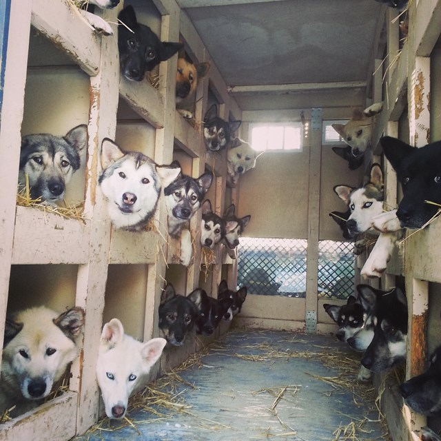 numerous dogs in dog boxes in the back of a truck