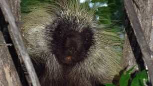 A close-up image of a porcupine