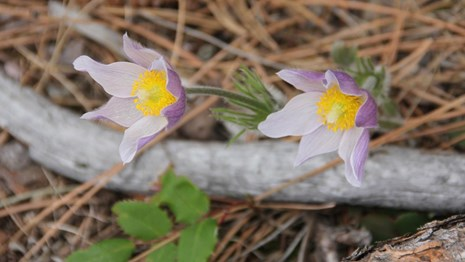Two purple pasqueflowers emerging from a pile of pine needles, branches, and leaves on the ground.