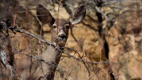 A mule deer peering through the branches.