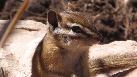 A least chipmunk sitting on a rock.