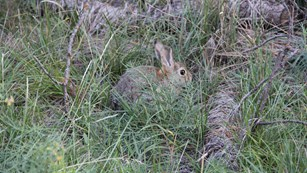 Mountain cottontail rabbit hiding in the grass.