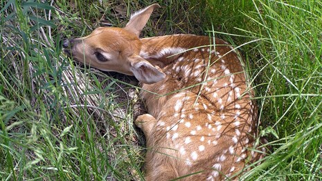 A deer fawn resting in the tall grass.