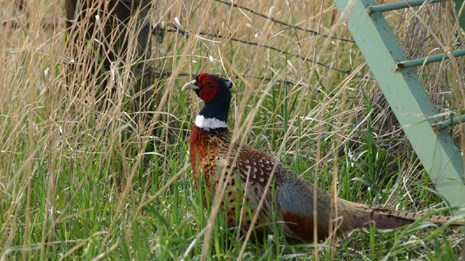 A pheasant sits in the tall grass