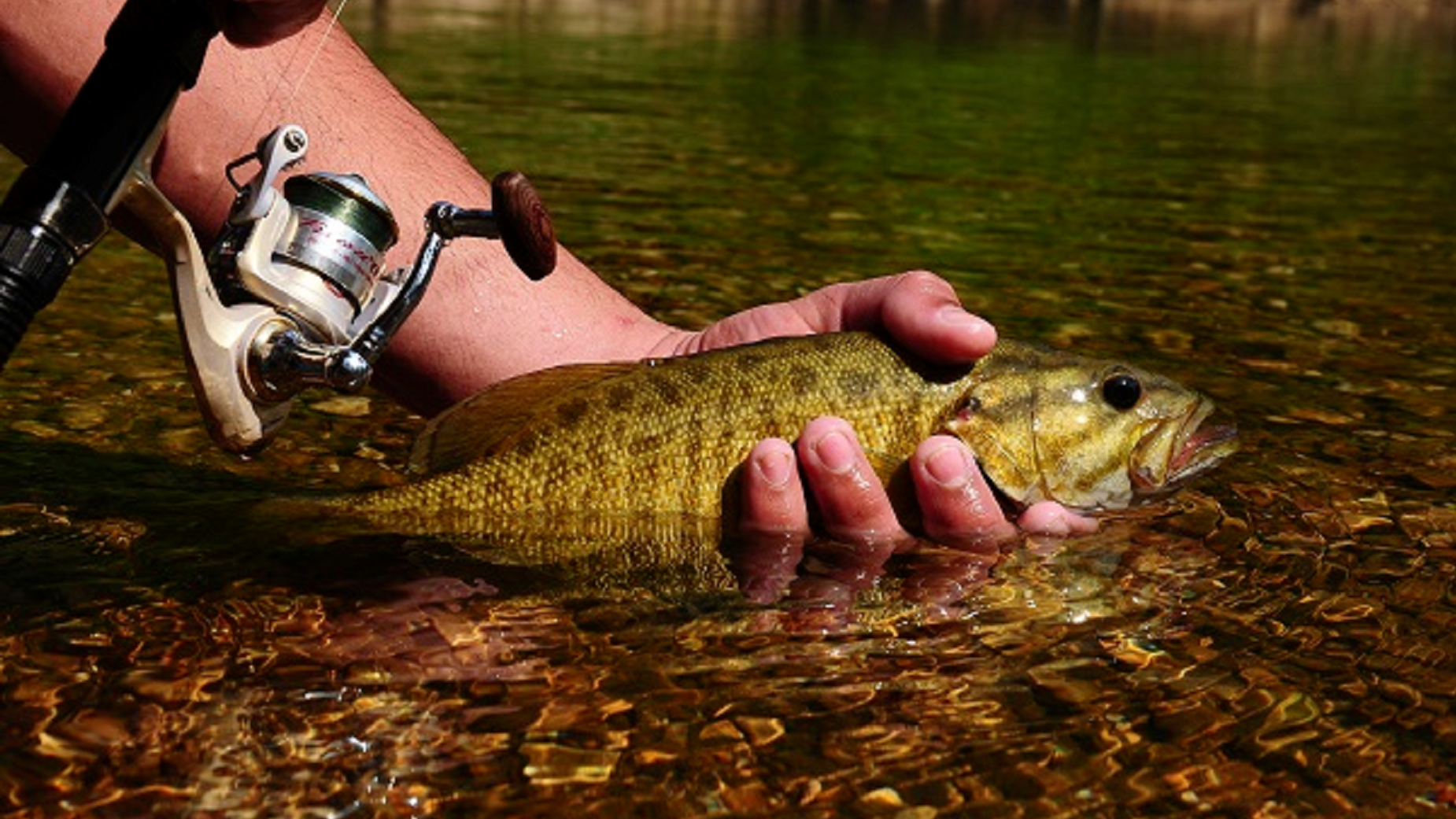 A fisherman releasing a smallmouth bass