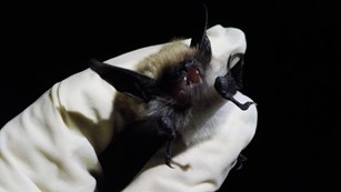 A bat captured during bat inventory at the park