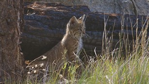 Immature bobcat looking alert.